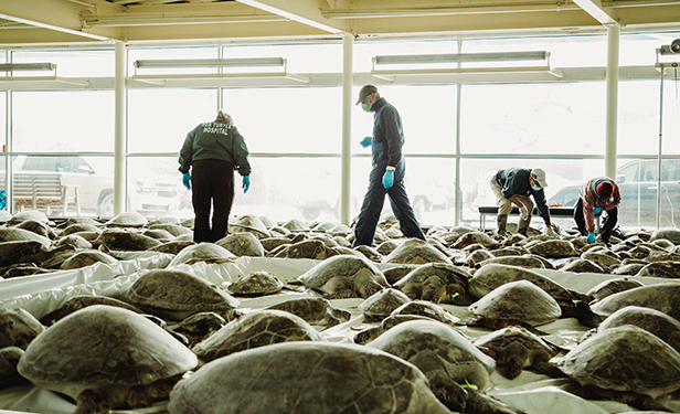 South Padre Islands helps sea turtles